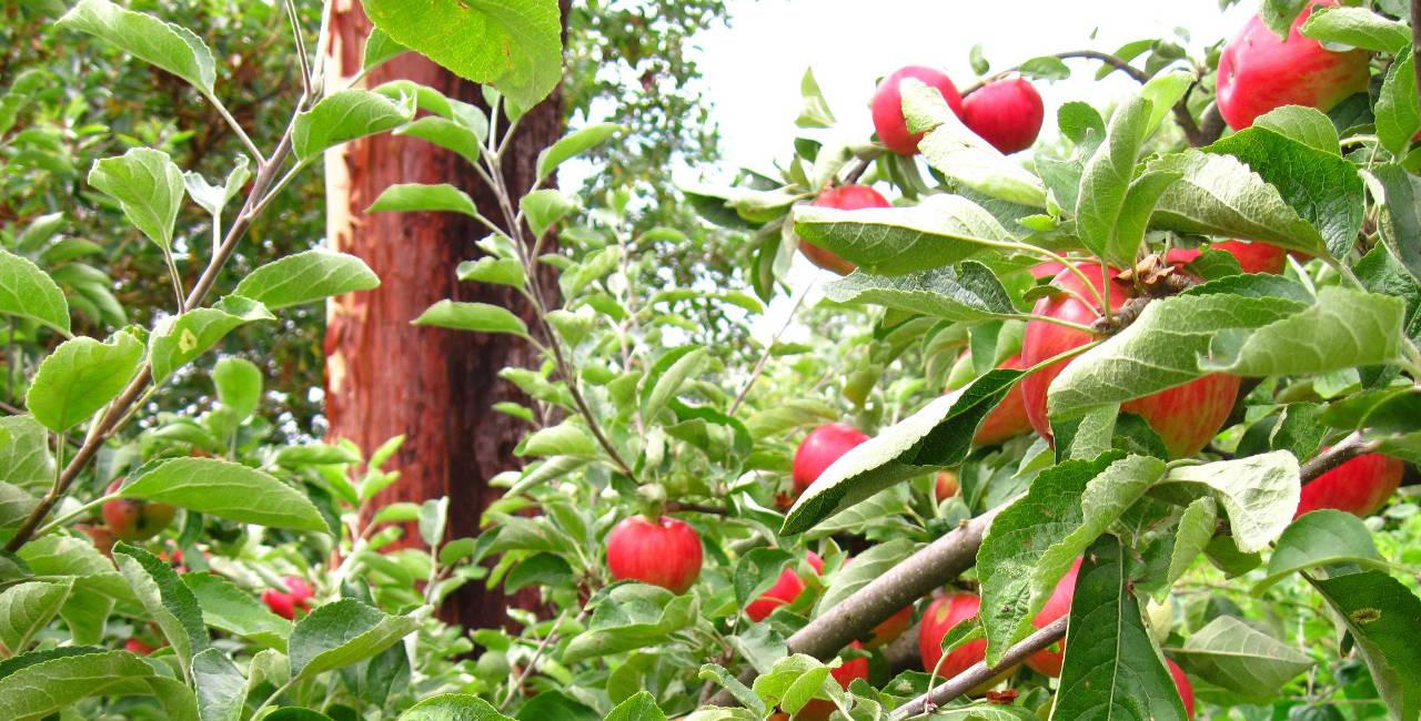 News archivi pagina 2 di 2 azienda agricola grosso silvana for Potatura del melo